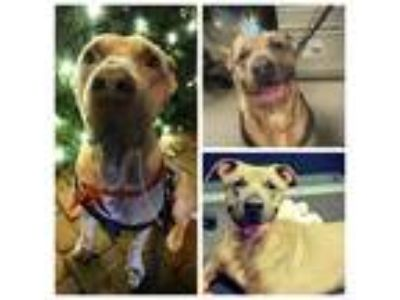 Adopt Manhattan a Tan/Yellow/Fawn Mastiff / Mixed dog in Philadelphia