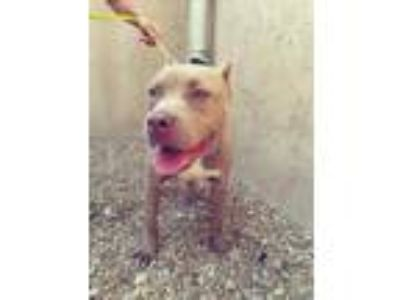 Adopt Peanut a Tan/Yellow/Fawn Pit Bull Terrier / Mixed dog in Wilmington