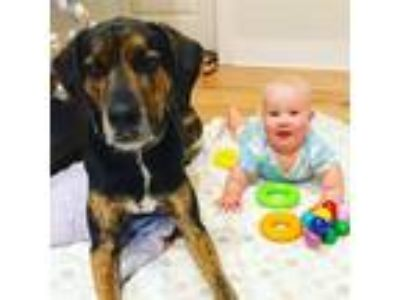 Adopt Boone a Black - with Tan, Yellow or Fawn Hound (Unknown Type) dog in