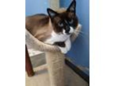 Adopt Boo-Boo a Gray or Blue Siamese / Domestic Shorthair / Mixed cat in DeKalb