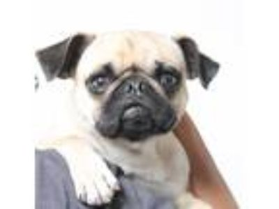 Adopt George a Pug / Mixed dog in Gardena, CA (25263984)