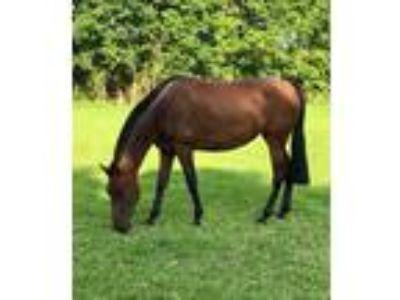PRE mare for sale