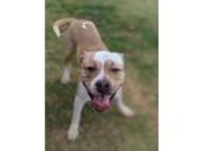 Adopt Ace a Tan/Yellow/Fawn Mixed Breed (Large) / Mixed dog in Chamblee