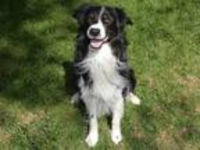 Adopt BADGER a Black - with White Border Collie / English Shepherd / Mixed dog