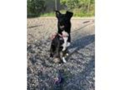 Adopt GRIFFIN a Black - with White German Shepherd Dog / Border Collie / Mixed