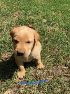 Labrador Retriever PUPPY FOR SALE ADN-88768 - Litter of 8 puppies