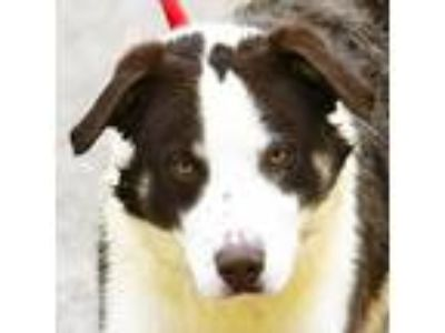 Adopt Cisco a White - with Brown or Chocolate Australian Shepherd / Airedale