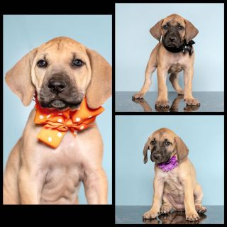 Black Mouth Cur Puppies