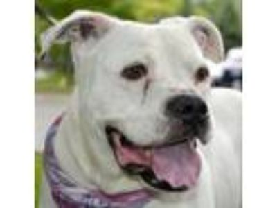 Adopt Marilyn a Pit Bull Terrier
