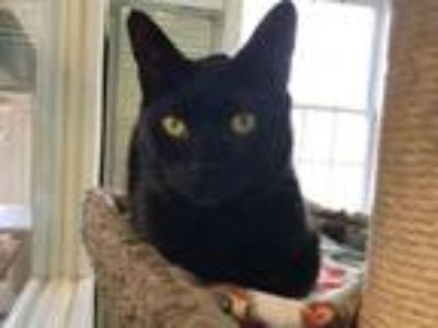 Adopt Midnight a Domestic Shorthair / Mixed (short coat) cat in Cumberland