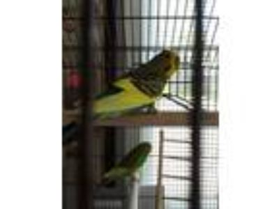 Adopt Gerald a Parakeet - Other bird in Fall River, MA (25865193)