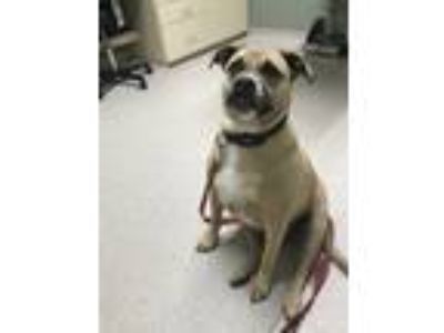 Adopt Maytag a Tan/Yellow/Fawn - with Black American Pit Bull Terrier / Boxer /