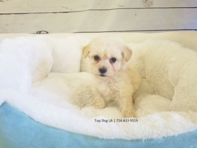 Unknown-Maltipoo Mix PUPPY FOR SALE ADN-51913 - Maltipoo Female Rio