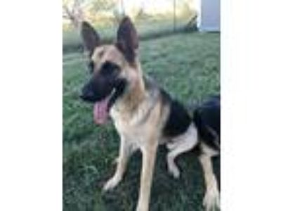 Adopt Felicity a German Shepherd Dog