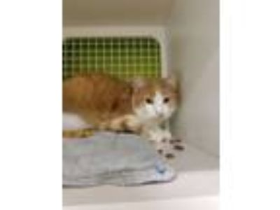 Adopt Kasey a Orange or Red Domestic Shorthair (short coat) cat in Shelbyville