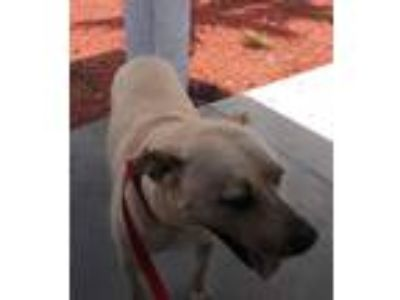 Adopt Monkey a Labrador Retriever / Mixed Breed (Medium) / Mixed dog in Fort
