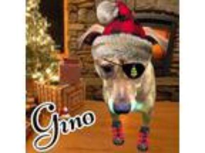 Adopt Gino a Labrador Retriever, Pit Bull Terrier