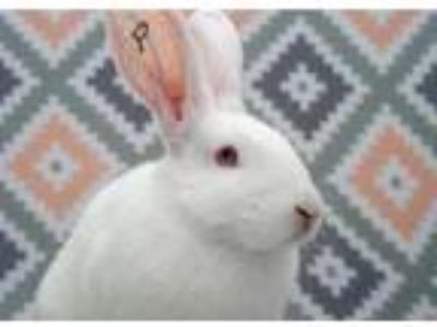 Adopt Jasper a White New Zealand / Mixed rabbit in San Diego, CA (25866619)