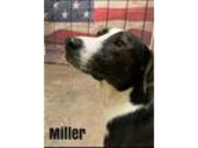 Adopt Miller a Mountain Cur / Mixed dog in Pittsburgh, PA (25850321)