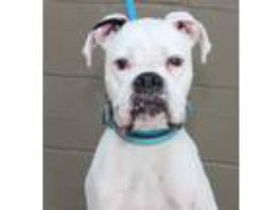 Adopt Tritan a Boxer, Mixed Breed