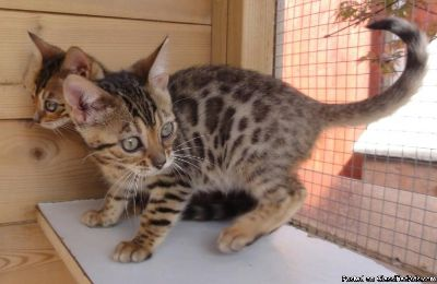 ttwr Bengal kitten for sale