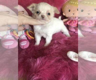 Chihuahua PUPPY FOR SALE ADN-127182 - Tecup chihuahua longhair dollface