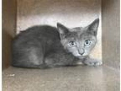 Adopt Lunchbox a Domestic Shorthair / Mixed cat in Birmingham, AL (25878159)