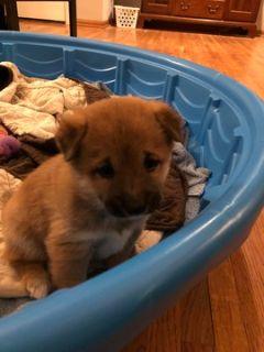 Shiba Inu PUPPY FOR SALE ADN-103664 - Shiba Inu Puppies
