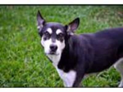 Adopt Koda a Black - with White Husky / German Shepherd Dog / Mixed dog in