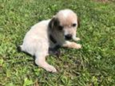 Adopt Male heeler/beagle pup a Australian Cattle Dog / Blue Heeler, Beagle