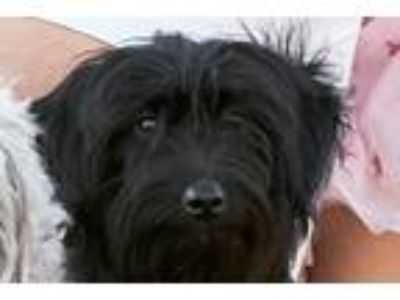 Adopt Ebony a Black Australian Shepherd / Poodle (Standard) dog in Pacific