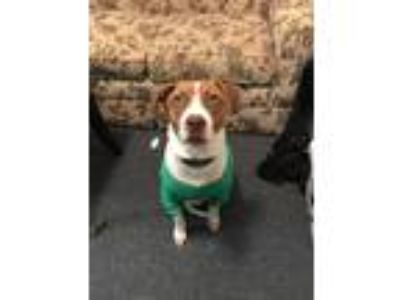 Adopt Hank a White - with Red, Golden, Orange or Chestnut German Shorthaired