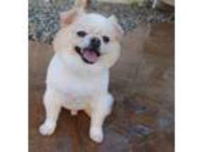 Adopt ZinnaZu a Pomeranian, Pekingese