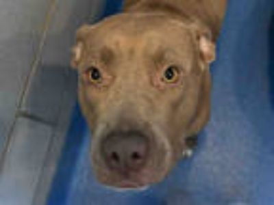 Adopt FIONA a Brown/Chocolate American Pit Bull Terrier / Mixed dog in Dallas