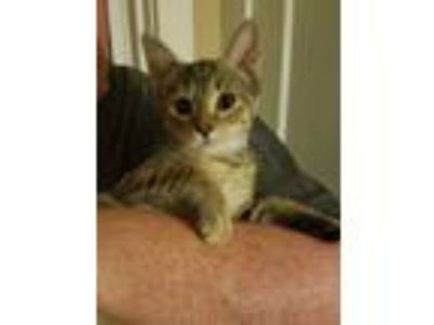 Adopt Emmy a Domestic Short Hair, Tabby