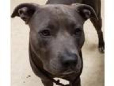 Adopt Dre a American Pit Bull Terrier / Mixed dog in San Diego, CA (25879023)