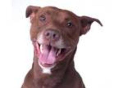 Adopt ELTON a Chocolate Labrador Retriever, Pit Bull Terrier