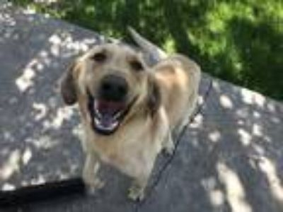 Adopt Sam a Tan/Yellow/Fawn Labrador Retriever dog in Idaho Falls, ID (25545263)