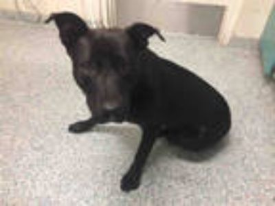 Adopt a Black Labrador Retriever / Mixed dog in Long Beach, CA (25327648)