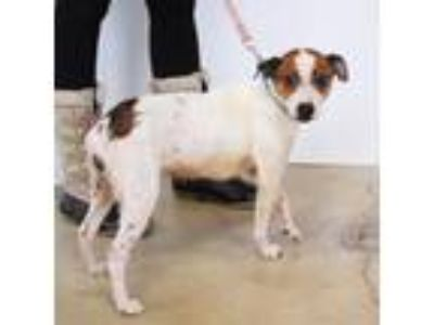 Adopt Randi a Jack Russell Terrier / Mixed Breed (Small) dog in Northbrook