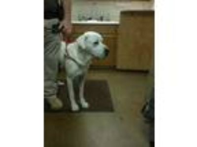 Adopt DUKE a White Great Pyrenees / Mixed dog in Cullman, AL (25598655)