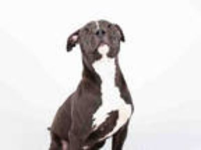 Adopt DUDE a Brown/Chocolate - with White American Pit Bull Terrier / Mixed dog