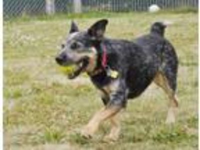 Adopt Bowie a Cattle Dog