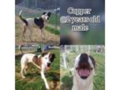 Adopt Copper a Boxer, Pit Bull Terrier