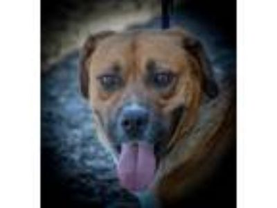 Adopt Mickey a Tan/Yellow/Fawn Boxer / Terrier (Unknown Type