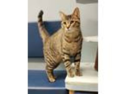 Adopt King a Exotic Shorthair, Tabby
