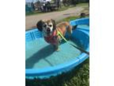 Adopt Rusty a Black - with Tan, Yellow or Fawn Beagle / King Charles Spaniel /