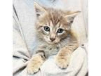 Adopt Gaston a Gray or Blue Domestic Shorthair / Domestic Shorthair / Mixed cat