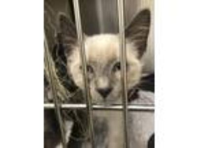 Adopt Knox a Domestic Short Hair, Siamese