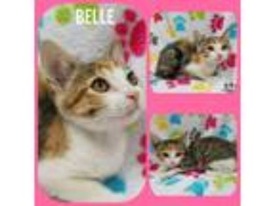 Adopt Belle a Calico or Dilute Calico American Shorthair (short coat) cat in